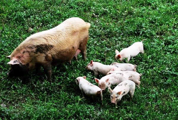 土猪养殖基地