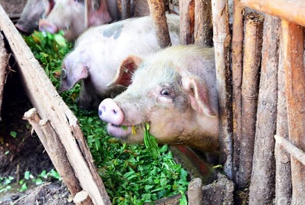 大白猪养殖基地