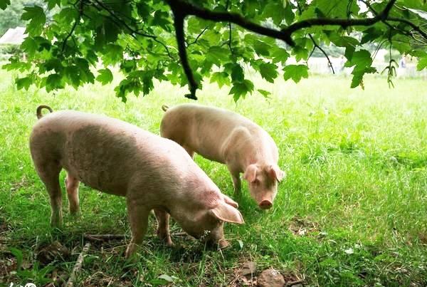 土猪养殖场