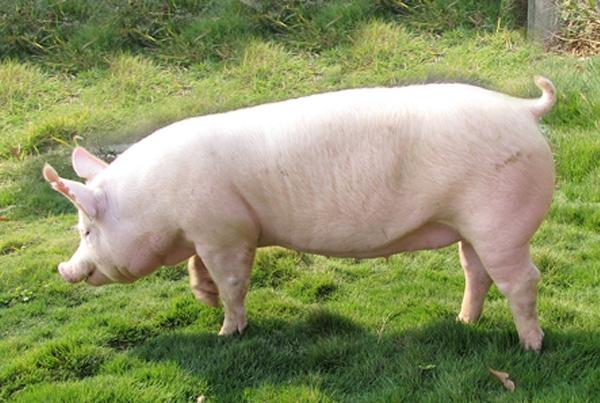 重庆土猪价格