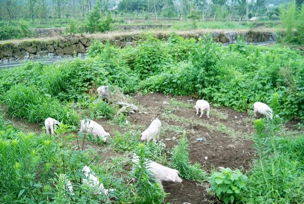 林下土猪养殖基地