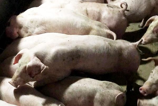 散养土猪养殖