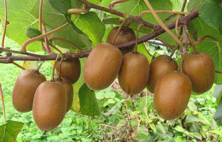 泸州猕猴桃种植要点